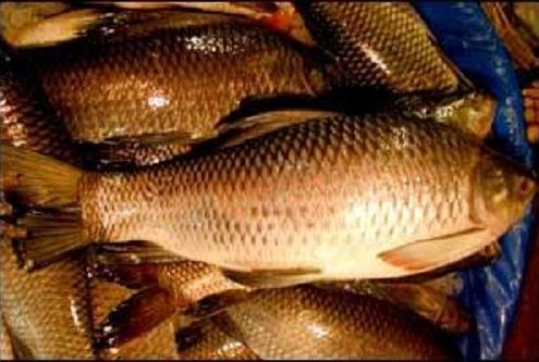 পেনে বা পোনা মাছ