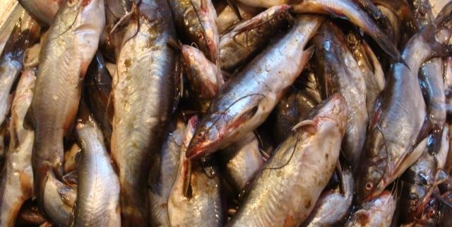 বানিজ্যিকভাবে মাছ চাষ