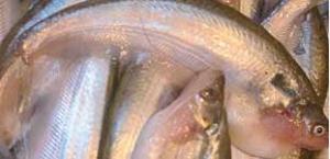 পাবদা মাছ