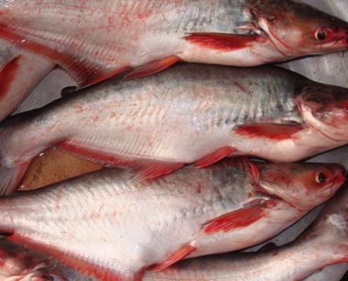 পাংগাস মাছ