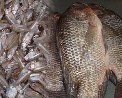 মলা ও তেলাপিয়া মাছ