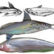 পাবদা গুলশা মাছ