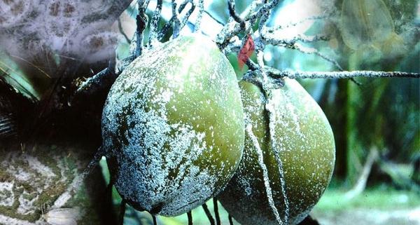 নারকেল গাছের শত্রু সাদা মাছি